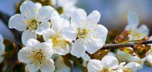 giappone fiori di ciliegio occhietti gialli