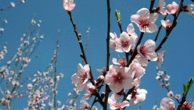 primavera mandorlo in fiore